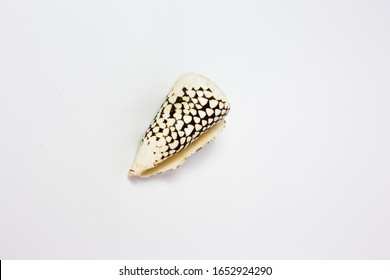 Speckled seashell on white background