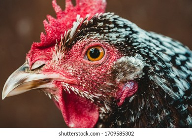 Speckled Sussex chicken close up of a hen's head