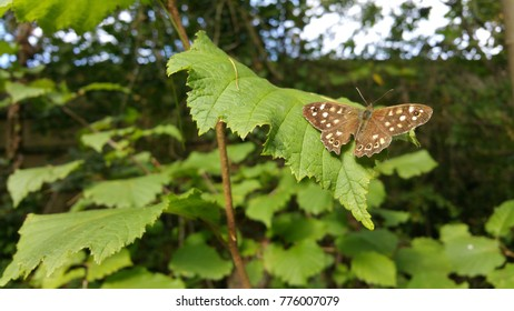 speckled wood brown butterfly on leaf