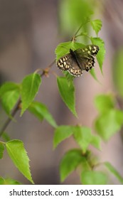 a speckled wood butterfly pararge aegeria
