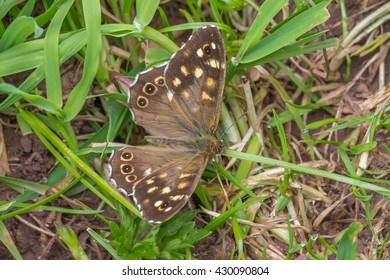 Speckled Wood Butterfly resting on the ground.