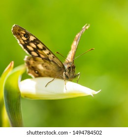A speckled wood butterfly rests on an acidanthera flower bud.