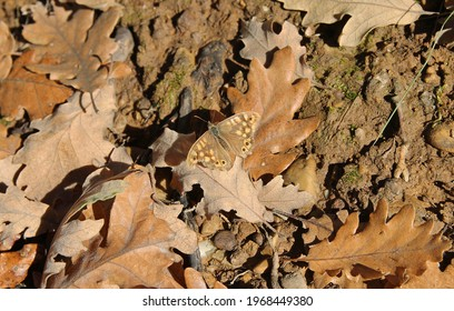 The speckled wood (Pararge aegeria) is a butterfly found in and on the borders of woodland areas throughout much of the Palearctic realm. Occupies a diversity of grassy, flowery habitats in forest.