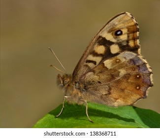speckled wood profile in dorset wood