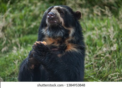 Spectacled bear or Andean bears are a subspecies that lives in South America