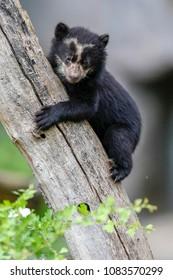 Spectacled bear, Andean bear (Tremarctos ornatus) young animal climbing, captive