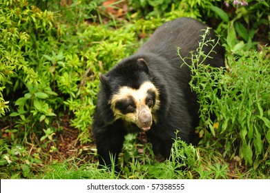 spectacled bear with copy space and selective focus.