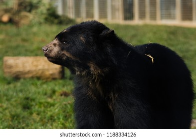 A spectacled bear prowls around its territory