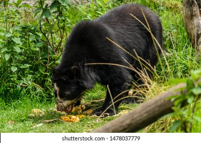 Spectacled bear (Tremarctos ornatus), also known as the Andean bear, Andean short-faced bear, or mountain bear