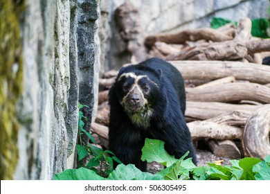 A spectacled bear walking along