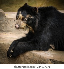 spectacled bear at zoo