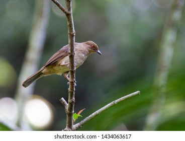The Spectacled Bulbul with bokeh