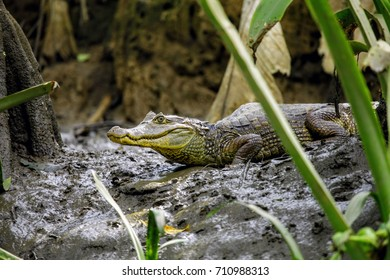 Spectacled Caiman Costa Rica