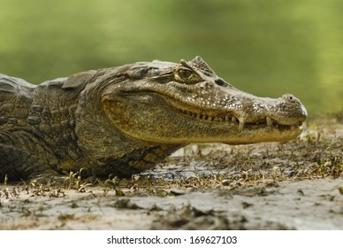 Spectacled Caiman (Caiman crocodilus) in Cano Negro National Park, Costa Rica