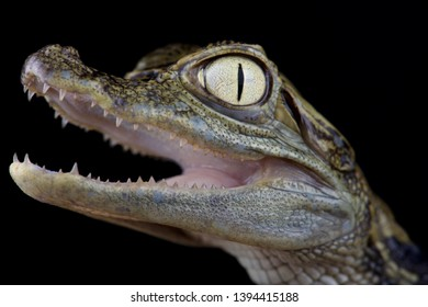 The spectacled caiman (Caiman crocodilus chiapasius) is a medium sized crocodilian species found across South America.