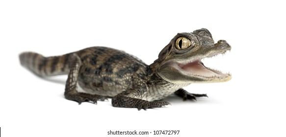 Spectacled Caiman, Caiman crocodilus, also known as a the White Caiman or Common Caiman, 2 months old, portrait against white background