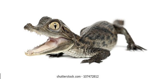 Spectacled Caiman, Caiman crocodilus, also known as a the White Caiman or Common Caiman, 2 months old, against white background