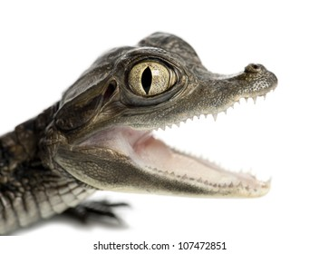 Spectacled Caiman, Caiman crocodilus, also known as a the White Caiman or Common Caiman, 2 months old, portrait and close up against white background