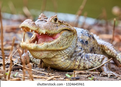 The spectacled caiman (Caiman crocodilus), also known as the white caiman or common caiman, is a crocodilian reptile found in much of Latin America, Caño Negro, Costa Rica, Central America