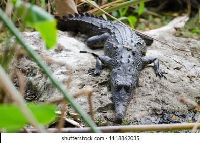 Spectacled caiman (Caiman crocodilus) in Palo Verde National Park, Guanacaste, Costa Rica