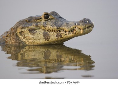 Spectacled caiman (caiman crocodilus) in the wild in the northern Pantanal, Mato Grosso, Brazil