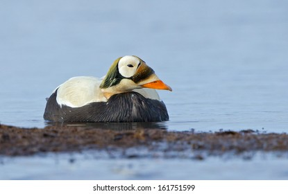A spectacled eider drake rests in the water at the edge of a tundra pond near Barrow, Alaska