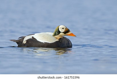 A spectacled eider drake swims in a quiet tundra pond in arctic Alaska