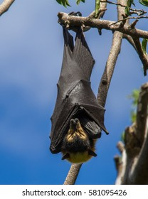 Spectacled flying fox (Pteropus conspicillatus) sleeping on a branch in Cairns, Queensland, Australia.