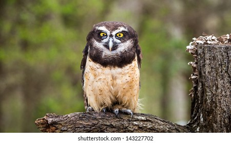 Spectacled Owl Images Stock Photos Vectors Shutterstock