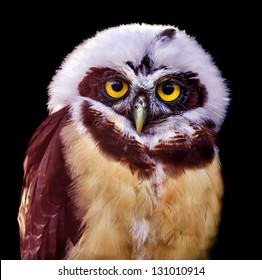 Spectacled Owl isolated on a black background