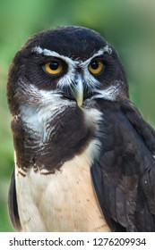 The spectacled owl (Pulsatrix perspicillata)