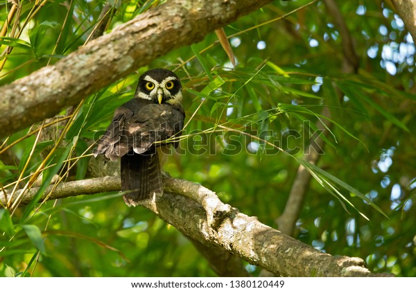 Spectacled owl (Pulsatrix perspicillata) is a large tropical owl native to the neotropics. It is a resident breeder in forests from southern Mexico and Trinidad, through Central America
