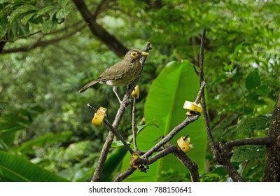A spectacled thrush, latin name Turdus nudigenis, pauses to gaze at the camera while pecking at slices of banana left on branches. Tropical forest in Tobago, Trinidad and Tobago.