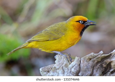 The Spectacled Weaver (Ploceus ocularis) is a species of bird in the Ploceidae family. It is found widely in woodland, forest edge and gardens of East, Middle and Southern Africa.