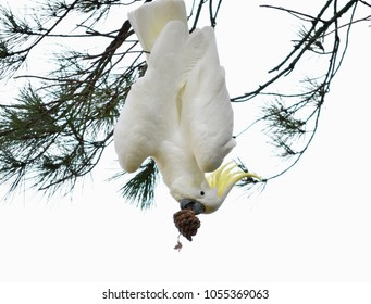 Spectacular Australian sulphur-crested cockatoos hanging upside down with the pine tree in its claw - beautiful and funny!