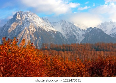 Spectacular Autumn Scenery with Roger de Boule Mountain and surrounding peaks covered in first snow, contrasting with the leafless Aspen Forest and fiery red rose bushes in the foreground.