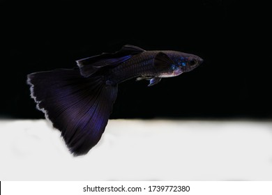 spectacular blue moscow guppy show