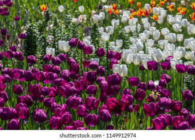 Spectacular bright field of a variety of tulip species with the morning dew on them.