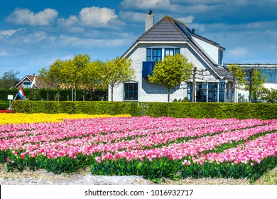Spectacular colorful flower garden. Agricultural farm with tulip fields and farmhouse in dutch village near Leiden, Netherlands, Europe