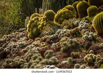 Spectacular desert cactus garden with multiple types of cactus illuminated by the sun in the spring or summer.