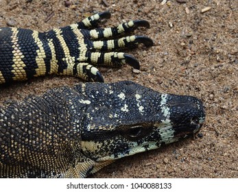 Spectacular Eye-Catching Common Goanna with Exceptional Skin Markings Against a Sandy Background.