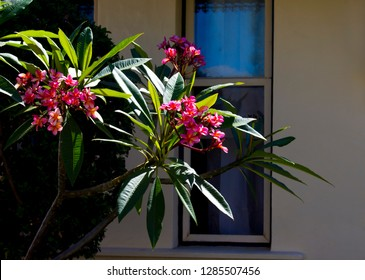 Spectacular fragrant deep pink scented blooms  with yellow centers of exotic tropical  frangipanni species plumeria plumeria  flowering in summer adds fragrant charm to an urban street scape.
