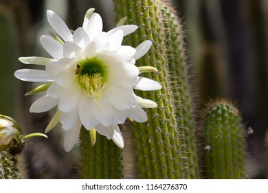 Spectacular giant white bloom on an Echinopsis Schickendantzii cactus with a bee getting nectar from the center of the bloom- native of northwestern Argentina.