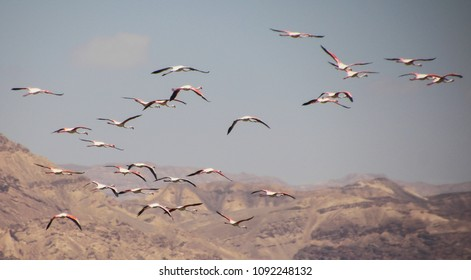 Spectacular Greater Flamingos (Phoenicopterus roseus) flock in the  Salt ponds of Eilat, South Isreal,  background, copy space
