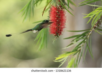 Spectacular hummingbird Raquet-tailed Puffleg Ocreatus underwoodii with metallic green plumage and an elaborate tail feeding on Callistemun tree