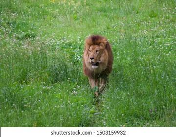 Spectacular portrait of a lion. Animal photo
