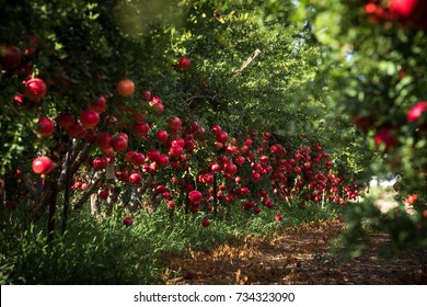 Spectacular ripe pomegranate autumn garden. Big and beautiful pomegranate fruits on trees.