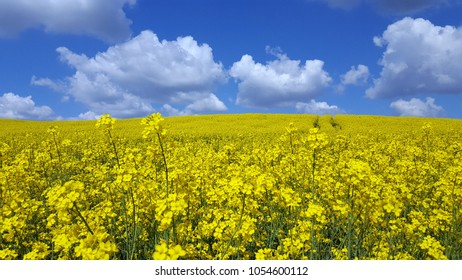 spectacular scenery with rape field