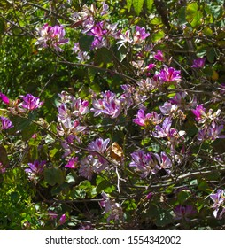 Spectacular showy blooms of Bauhinia Purpurea orchid tree, Hong Kong orchid tree, purple bauhinia, camel's foot, butterfly tree, or Hawaiian orchid tree in spring is a beautiful sight.