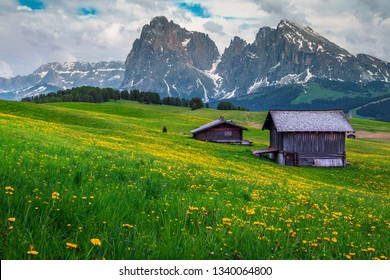 Spectacular summer landscape with yellow dandelions and snowy mountains in background, Alpe di Siusi - Seiser Alm resort, Dolomites, Italy, Europe